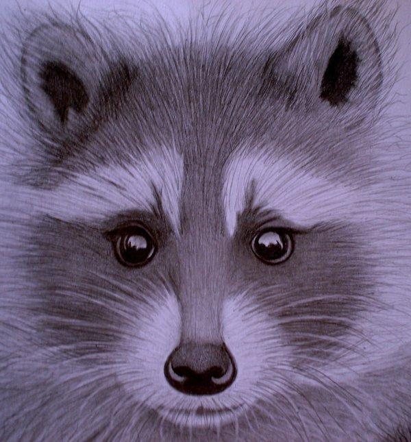 racoon_close_by_sinsenor600_645