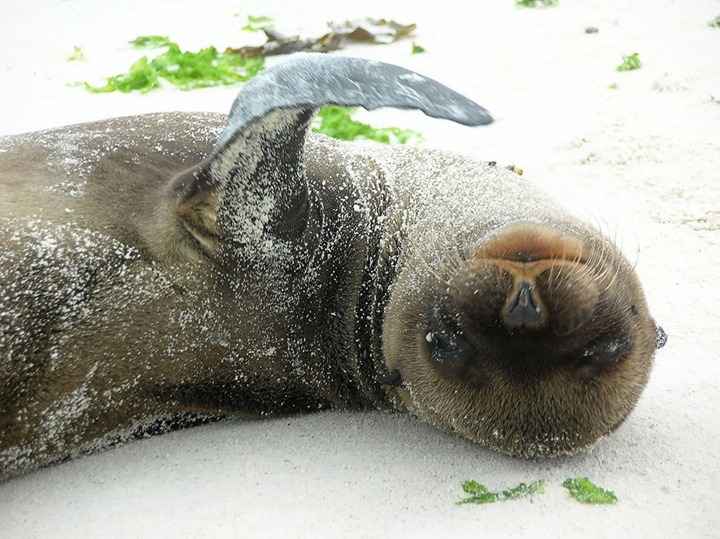 A-squirming-baby-sea-lion-less-than-6-weeks-old-on-the-beach-of-Espanola-Island-in-the-Galapagos