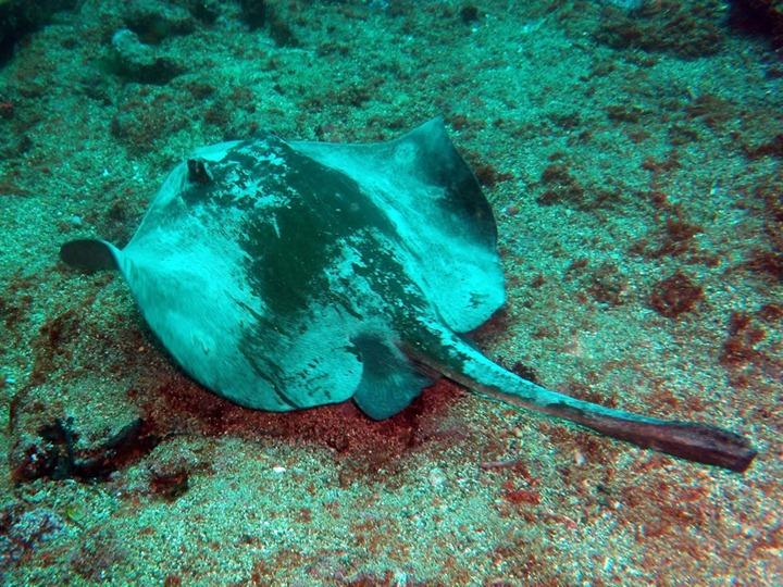 Diamond-stingray-Dasyatis-dipterura-in-the-Galapagos