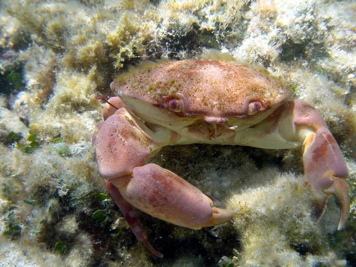 Galapagos-Islands-Crab-taken-for-Marine-Debris-Photo