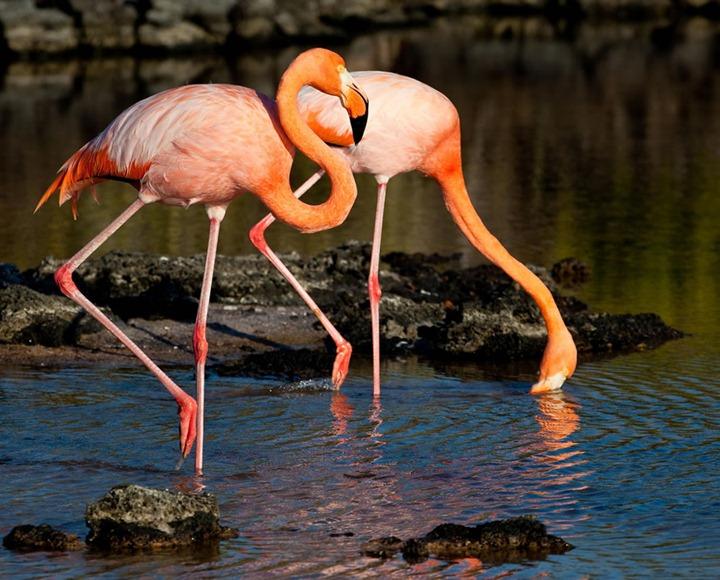 Galapagos-flamingoes