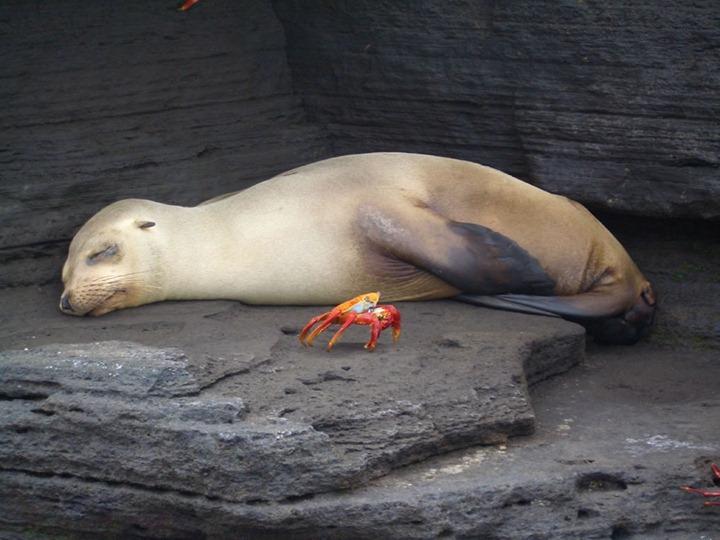 Galapagos-napping-seal-and-crab