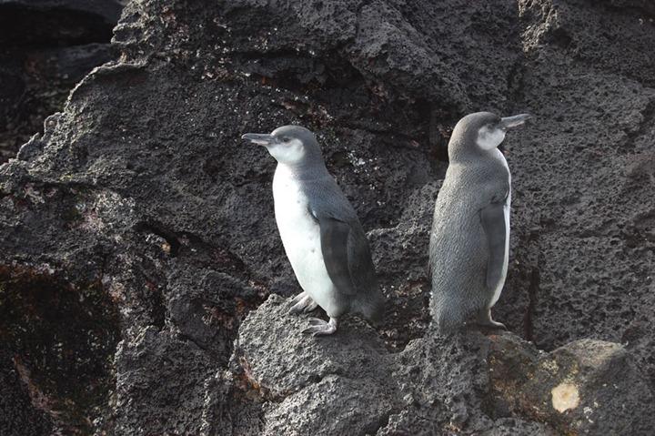 Galapagos-penguins-on-rocks-of-Galapagos-Islands