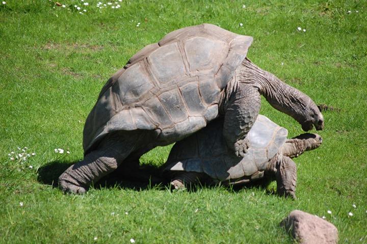 Galapagos-tortoises-mating