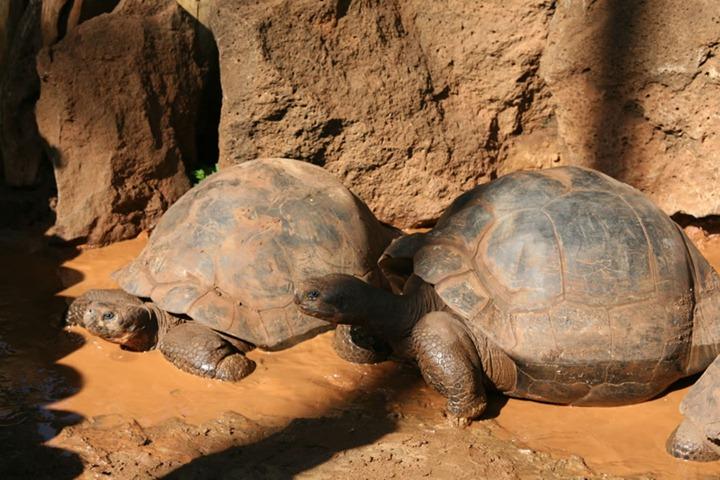 Giant-Galapagos-Tortoises