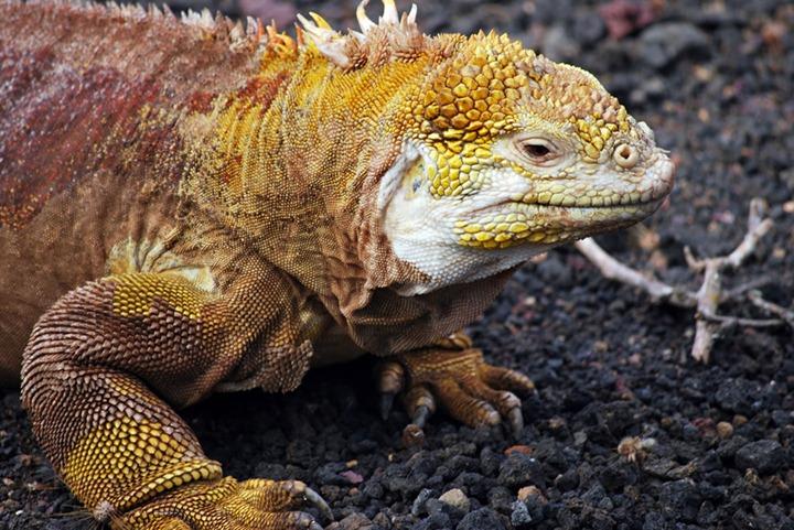Land-Iguana-at-the-Darwin-Center-Galapagos