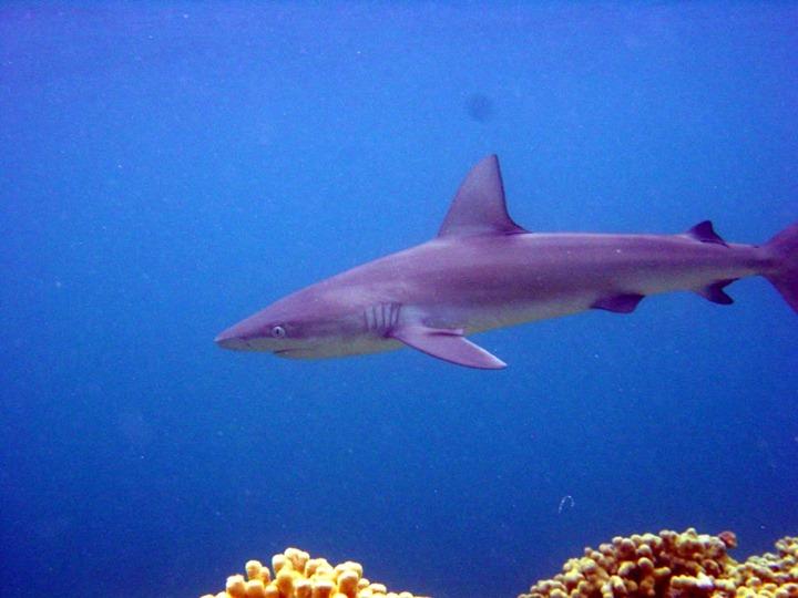 Mano-Galapagos-Shark