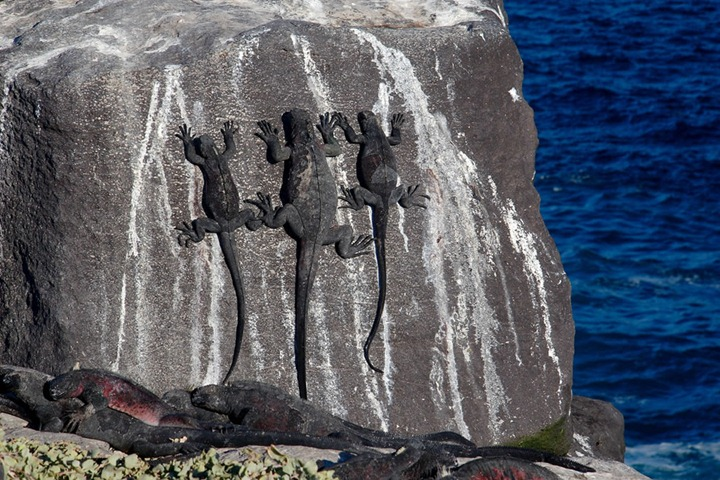 Marine-Iguanas-Suarez-Point-Espanola-Island-Galapagos-Islands