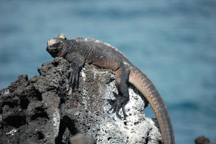Marine-iguana-on-rocks-of-Galapagos-Islands