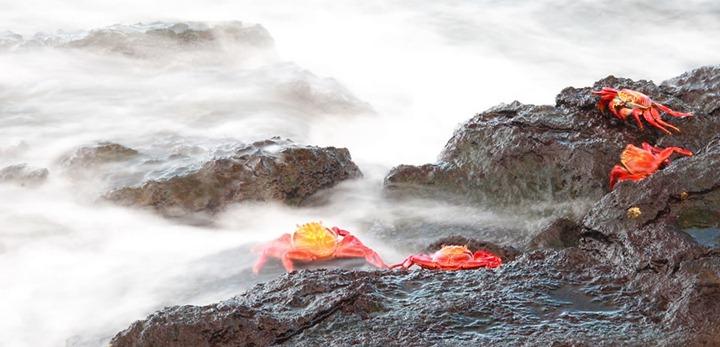 Red-Sally-lightfoot-crab-Islas-Plazas-Galapagos-Islands
