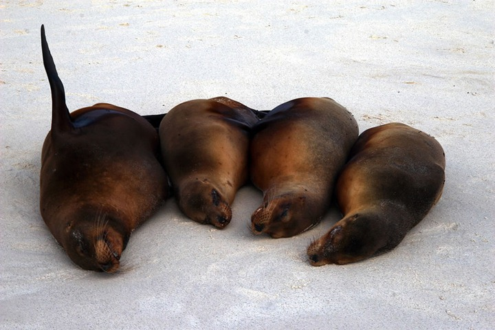 Sea-Lions-Gardner-Bay-Espanola-Island-Galapagos-Islands