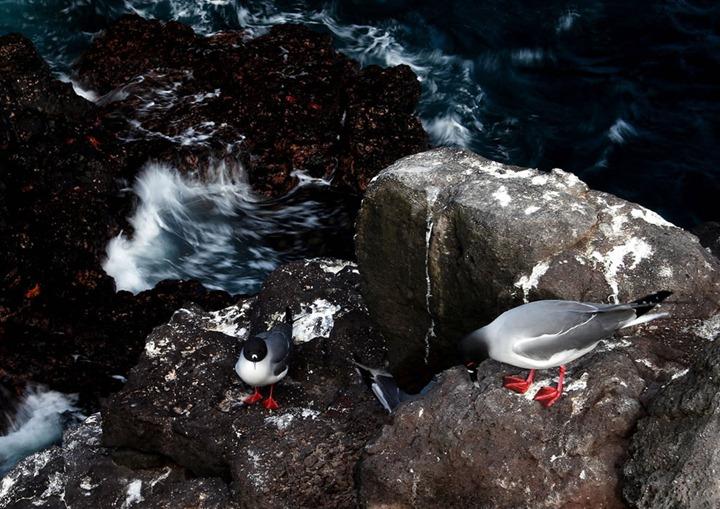Swallow-tailed-gulls-Islas-Plazas-Galapagos-Islands