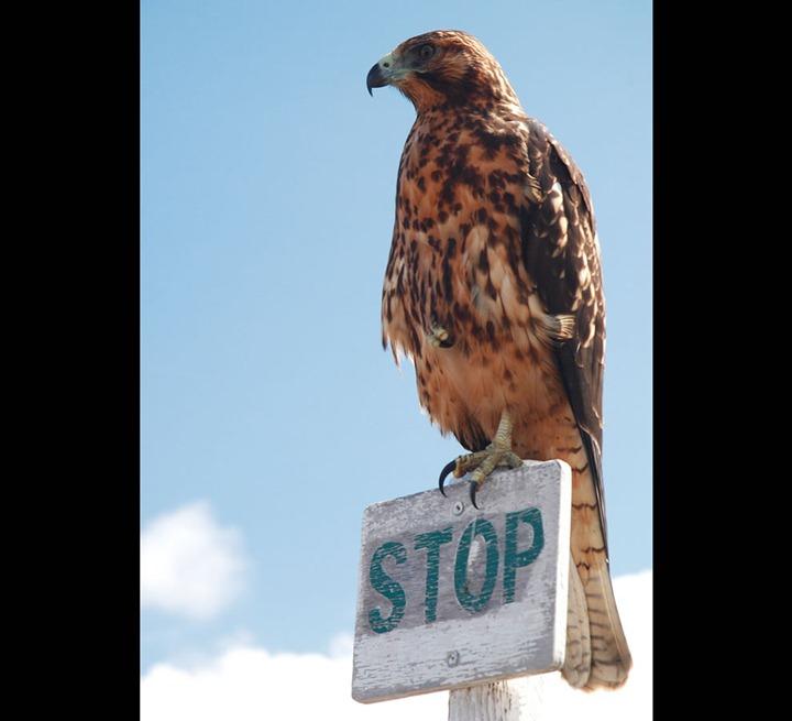Young-eagle-Urbina-Bay-Isabela-Island-Galapagos-Islands