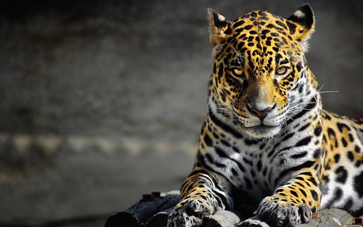 American-leopard
