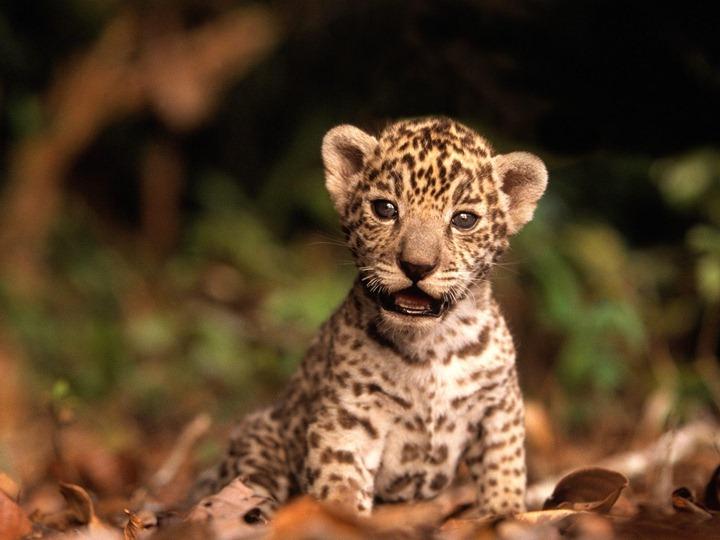 Jaguar-kitten