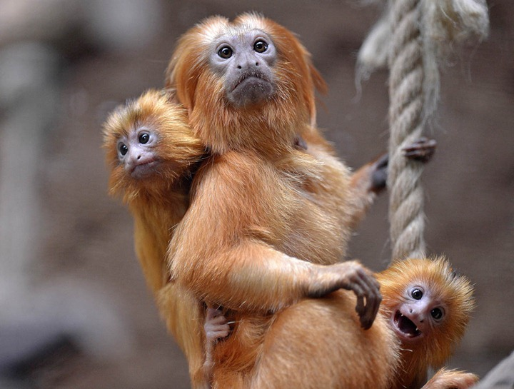 Two little golden lion tamarins hang on their father at the zoo in Duisburg, Germany on May 3, 2012. The small twins were born only six weeks ago. (Photo by Martin Meissner/AP)