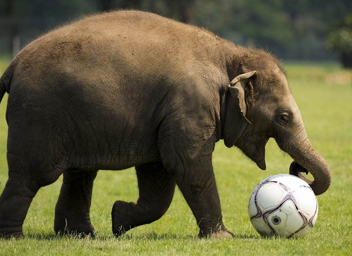Donna, a two-year-old elephant, plays with a giant soccer ball at Whipsnade Zoo in England on May 28, 2012. The elephants were playing with the ball with their keepers as the zoo prepares to host a sporting extravaganza. (Photo by Adrian Dennis/AFP)