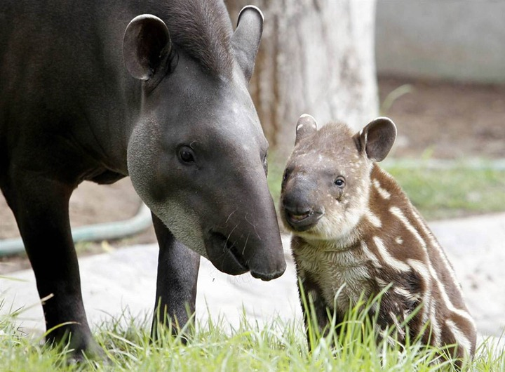 Dominga, a 14-year-old tapir, stands next to her one-month-old calf Bala at Parque de Las Leyendas Zoo in Lima on May 10, 2012. (Photo by Mariana Bazo/Reuters)