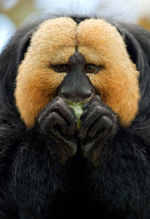 A white-faced saki eats at the zoo in Nuremberg, Germany on May 8, 2012. (Timm Schamberger/AP)