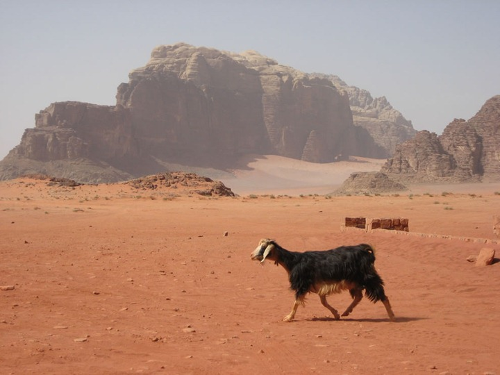 Wadi-Rum-Bedouin-goat-in-the-foreground-sandstone-formations-in-the-background
