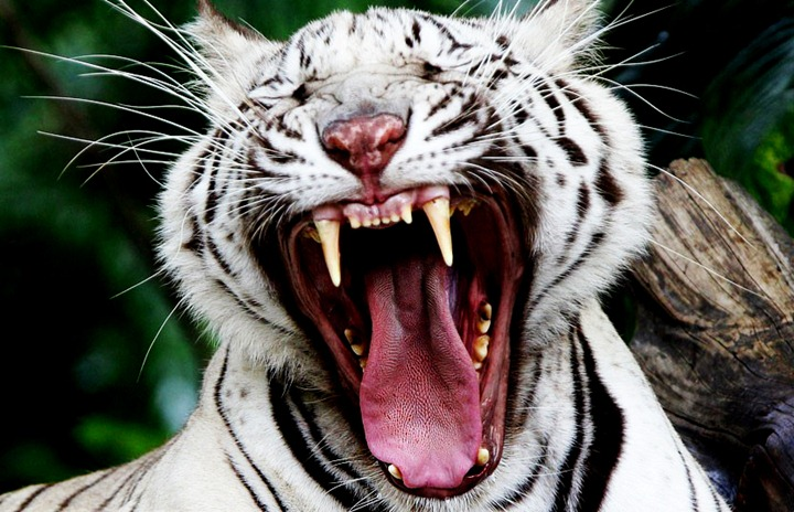 White Bengal tiger yawns at the Dusit Zoo in Bangkok, Thailand Wednesday, March 14, 2012. (AP Photo/Sakchai Lalit)