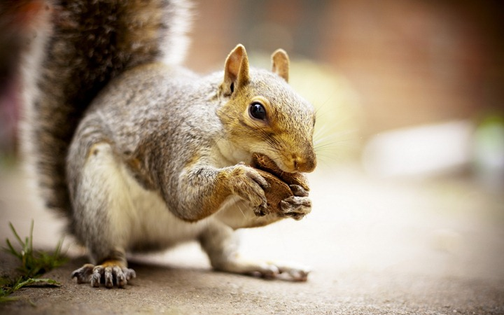 Squirrel-with-nut