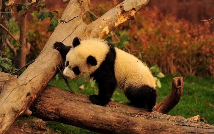 Strong-panda