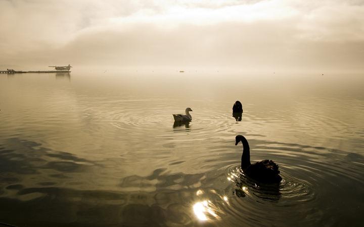 Swans-&-duck