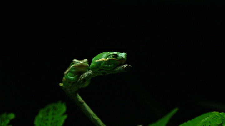 Two-green-frogs