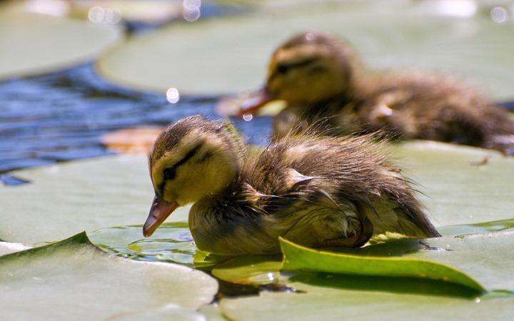 Wet-duckling