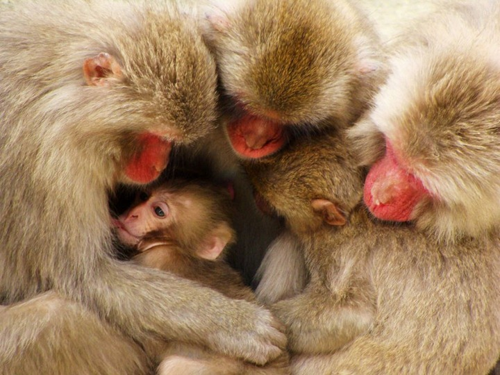 macaque-family-japan-081809_3640_990x742