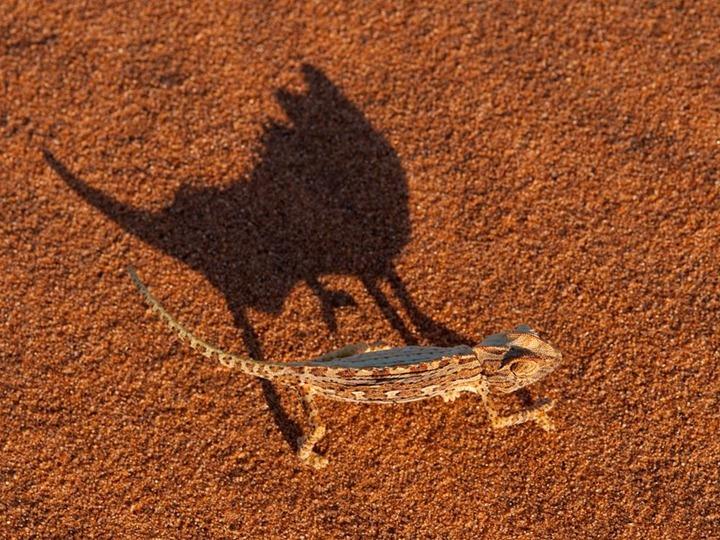 namaqua-chameleon-namibia_35260_990x742