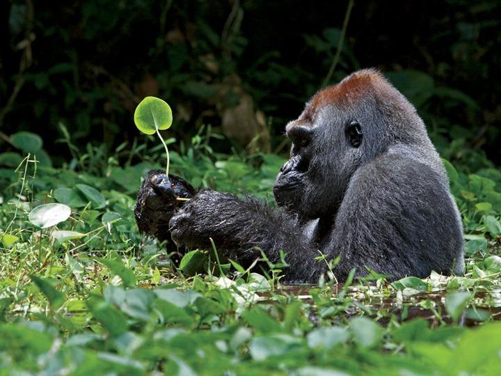 silverback-gorilla-leaves-africa_25307_990x742
