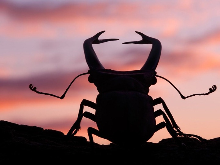 stag-beetle-sunset_36894_990x742