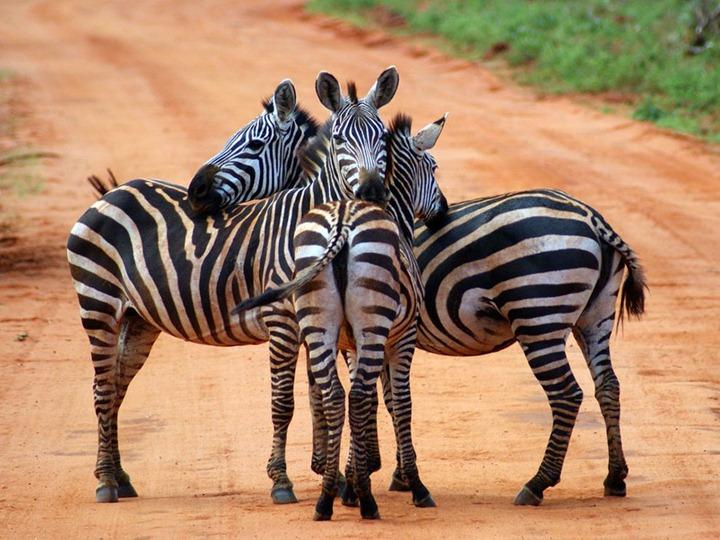 zebra-huddle-kenya_12666_990x742