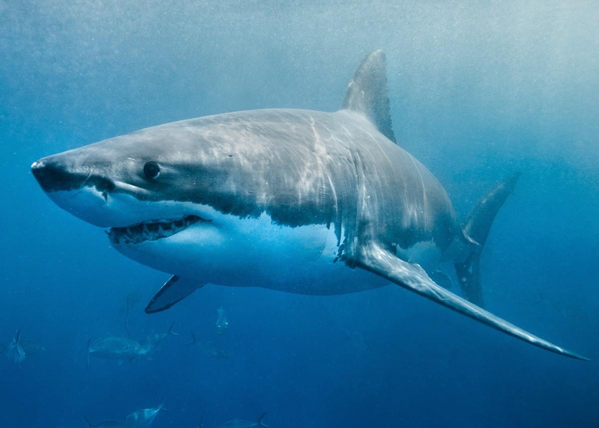 Морские хищники - акулы