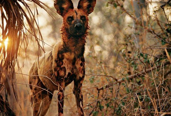 african-wild-dog-blood_35298_600x450