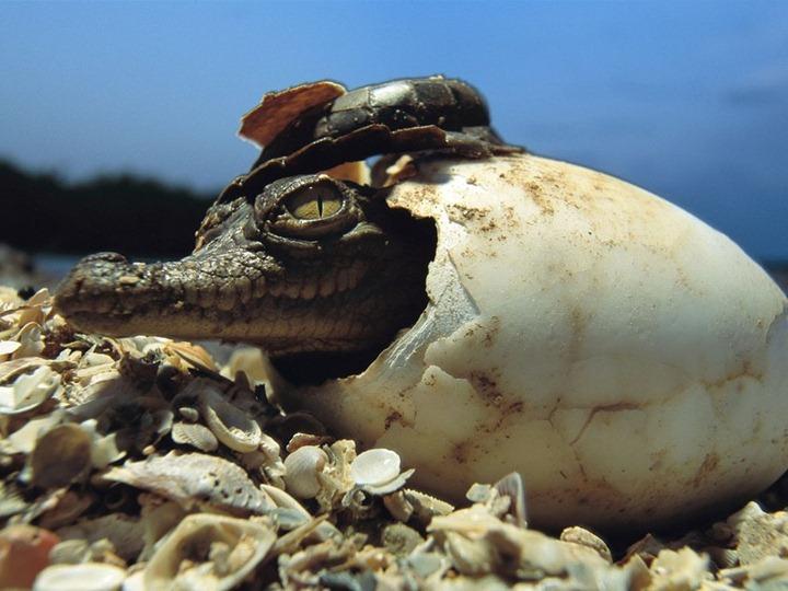 baby-american-crocodile_12_990x742
