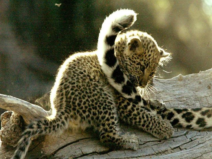 baby-leopard_231_990x742