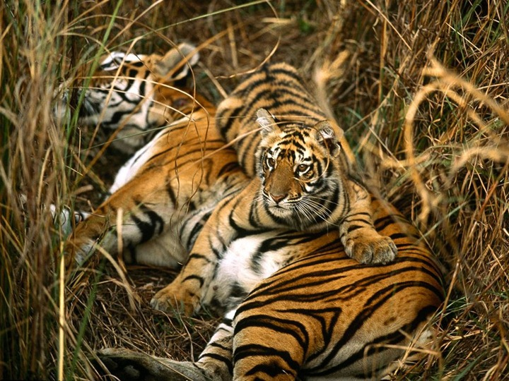 bengal-tigers_10_990x742