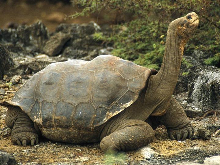 galapagos-tortoise_532_990x742