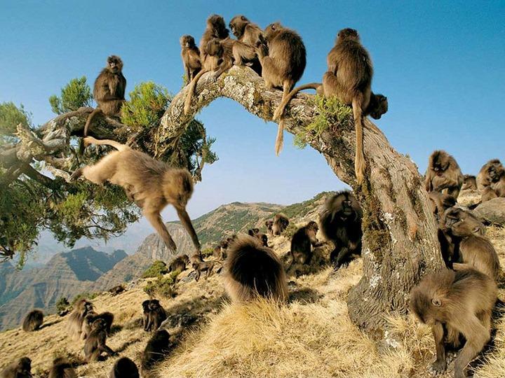 gelada-baboons_536_990x742