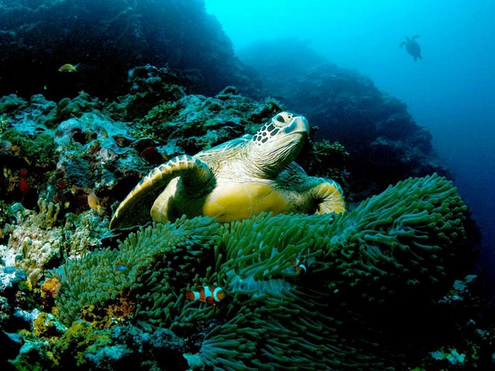 green-sea-turtle_564_990x742