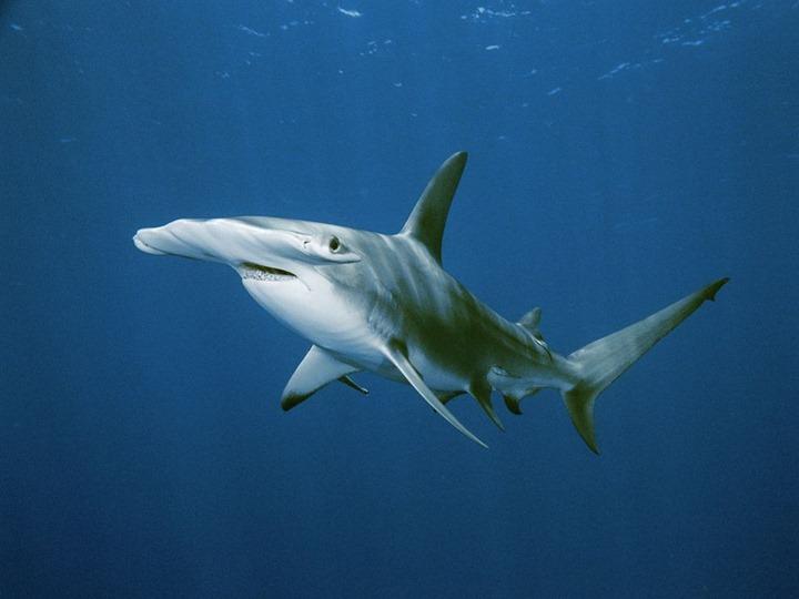 hammerhead-shark_568_990x742