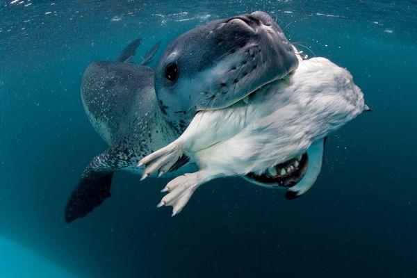 leopard-seal-captures-penguin_35304_600x450