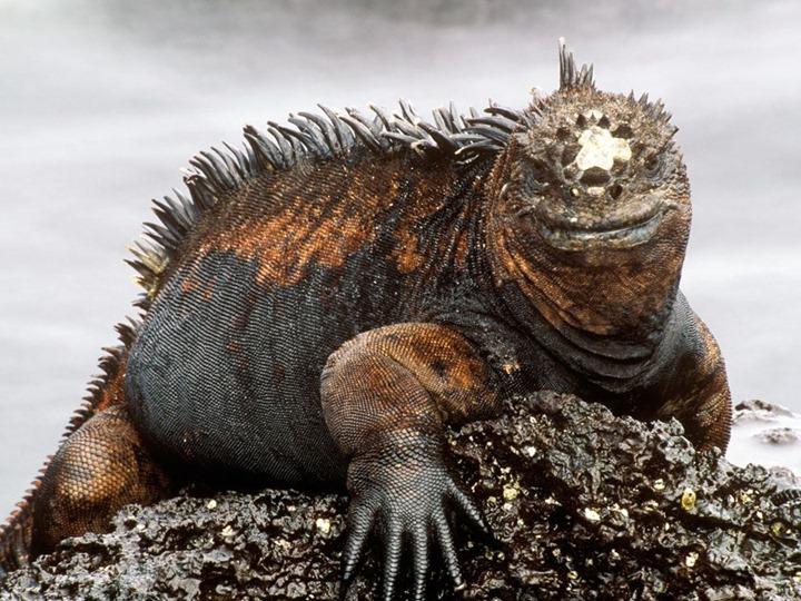 marine-iguana_779_990x742