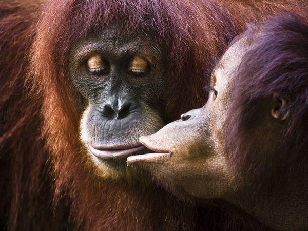 orangutan-kiss_32136_600x450