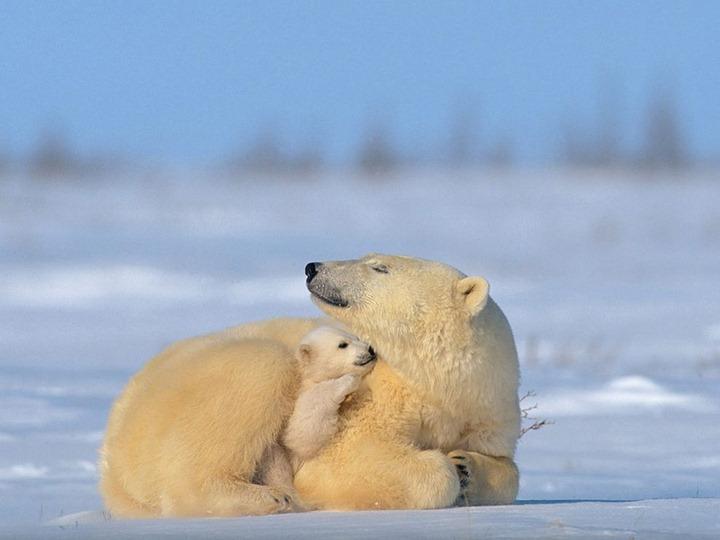 polar-bear-with-baby_4152_990x742