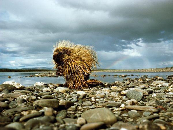 porcupine-pauses-riverbank_35305_600x450