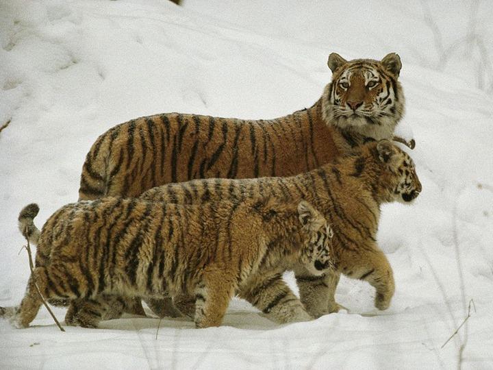 siberian-tiger-snow_708_990x742